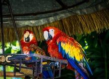 Par av färgrika scharlakansröda aror Royaltyfri Foto