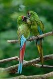 Par av fåglar, militär ara för grön papegoja, munkhättamilitaris, Mexico royaltyfri fotografi