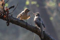 Par av fåglar som bygger ett rede med ris Arkivbilder