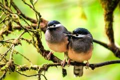 Par av fåglar/Vit-gå i ax Sibias i Taiwan Arkivfoton