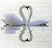 Par av förälskade svanar Arkivfoto