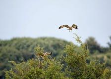 Par av fiskgjusen, fåglar av rovet Fotografering för Bildbyråer