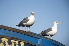 Par av fiskmåsar satt på fören av den lilla blåa fiskebåten fotografering för bildbyråer