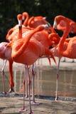 Par av flamingos Royaltyfri Foto