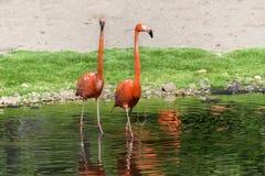 Par av flamingoställningen i ett damm Arkivbild