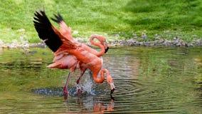 Par av flamingoställningen i ett damm Honom och henne Förälskelse amerikansk flamingo Fotografering för Bildbyråer