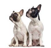 Par av franska bulldoggar som isoleras på vit Arkivbilder