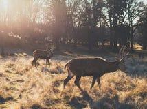 Par av fullvuxna hankronhjorten för röda hjortar under soluppgång royaltyfri bild