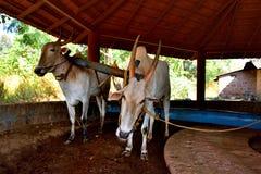 Par av funktionsdugliga oxar i Indien Fotografering för Bildbyråer