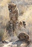 Par av geparder Arkivfoto