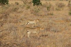 Par av geparder på jakten royaltyfria bilder