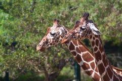 Par av giraff Royaltyfri Fotografi