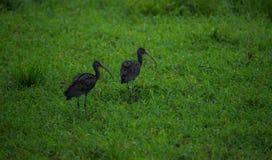 Par av glansiga ibins Arkivbild