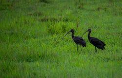 Par av glansiga ibins Arkivbilder
