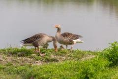 Par av grågåsgås & x28; Anser-anser& x29; med fågelungar Royaltyfria Foton