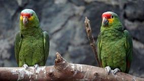 Par av gröna papegojor arkivbilder