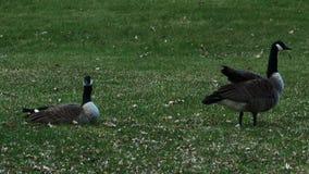 Par av Grey Canada gäss på en gräsmatta av parkerar i Minnesota i våren som söker efter föda grönt gräs stock video