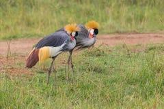Par av Grey Crowned Cranes Foraging royaltyfri bild
