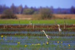 Par av Grey Heron fåglar på våtmarker Royaltyfria Foton