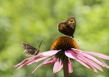 Par av grindvaktarefjärilar Arkivbilder