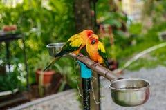 Par av gula papegojor royaltyfria bilder