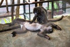 Par av gulliga apor i buren i zoo Fotografering för Bildbyråer