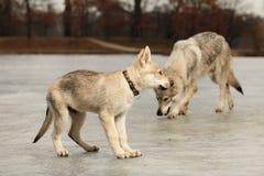Par av gulliga unga wofdogs som är manliga på vinterfloden Arkivfoto