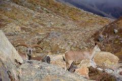 Par av härliga blåa sheeps nära den Kangchenjunga basläger, Nepal Royaltyfri Bild