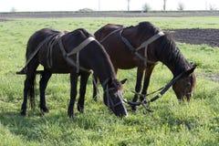 Par av hästar som betar i ett arbetsavbrott, kryddar att plantera Arkivbilder