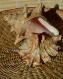 Par av havsskal Arkivfoton