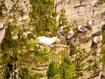 Par av havssulor på klippor Arkivfoto