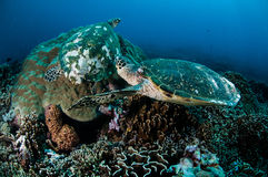 Par av hawksbillhavssköldpaddan som vilar på korallrever i Gili, Lombok, Nusa Tenggara Barat, Indonesien undervattens- foto royaltyfria bilder