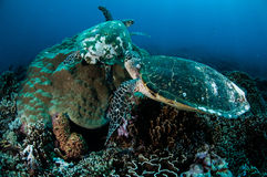 Par av hawksbillhavssköldpaddan som vilar på korallrever i Gili, Lombok, Nusa Tenggara Barat, Indonesien undervattens- foto royaltyfri bild