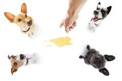 Par av hundkapplöpning kissar urin hemma royaltyfri bild
