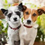 Par av hundkapplöpning som är förälskad på parkera royaltyfri bild