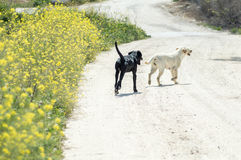 Par av hundkapplöpning som går nära blommorna Royaltyfri Fotografi