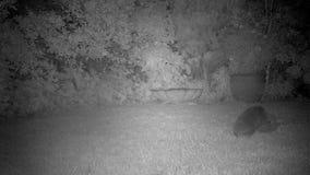 Par av igelkottar som parar ihop i stads- trädgård på natten lager videofilmer