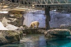 Par av isbjörnen (också som är bekant som thalarctosen Maritimus) Arkivfoto