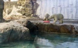 Par av isbjörnen (också som är bekant som thalarctosen Maritimus) Royaltyfri Fotografi