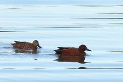Par av kanelbruna krickaänder som simmar i vatten arkivfoton