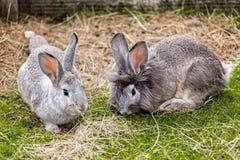 Par av kaniner royaltyfri fotografi