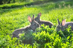 Par av kaniner som kyler i gräset arkivfoton