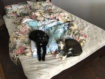 Par av katter Arkivfoton