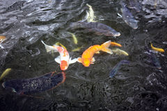 Par av koien fiskar simning i dammet Arkivfoton