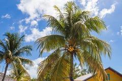 Par av kokosnötpalmträd Arkivbilder