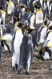 Par av konungen Penguins - Falkland Islands Arkivbild