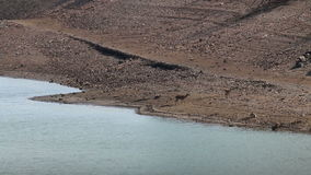 Par av kvinnliga hjortar längs floden Tagus, Spanien stock video