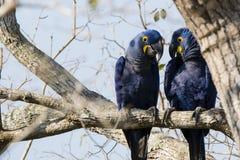 Par av lösa Hyacinth Macaws Holding Conversation Royaltyfri Foto