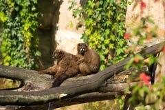 Par av lemurs Royaltyfria Foton