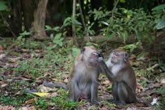 Par av macaqueapan som tar omsorg av de i det löst taget på den Langkawi ön, Malaysia royaltyfri foto